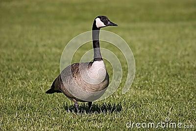 Goose walking