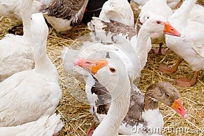 Goose white bird in farmyard head neck