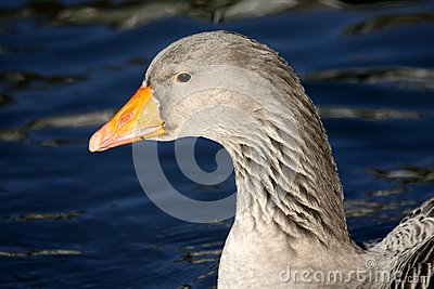 Goose in winter