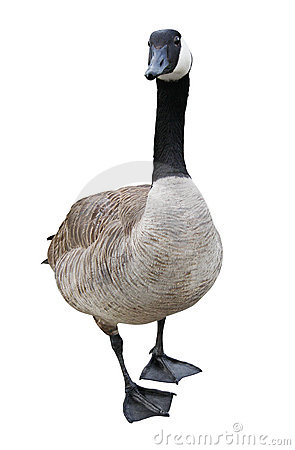 Free Goose With Clipping Path Royalty Free Stock Images - 9429459