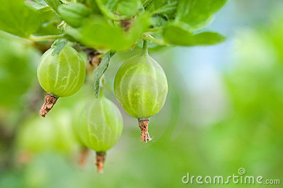 Gooseberry on a branch