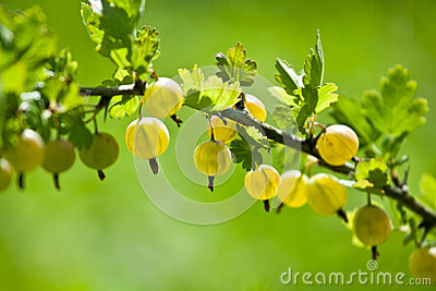 Gooseberry branch