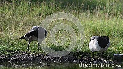 2 goosecleans щипцев его пер стоя на береге пруда после дождя Leucopsis чёрной казарки акции видеоматериалы
