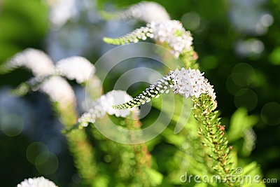 Gooseneck flower