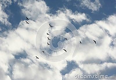 Gooses одичалые