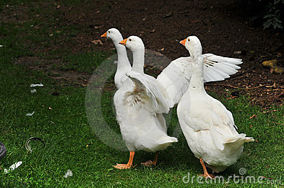 Gooses Stock Photos - Image: 6014213