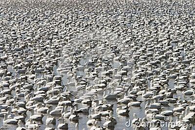 Gooses de la nieve