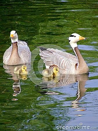 Free Gooses Family Royalty Free Stock Photo - 2622185