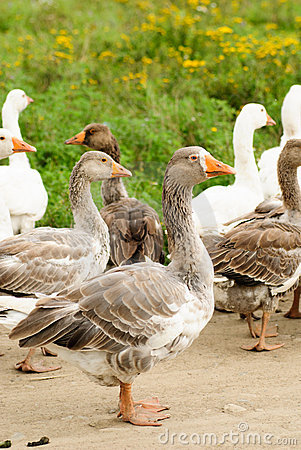 Gooses on grass