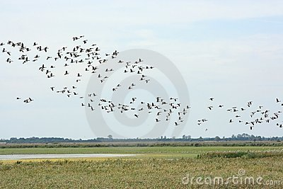 Gooses selvagens