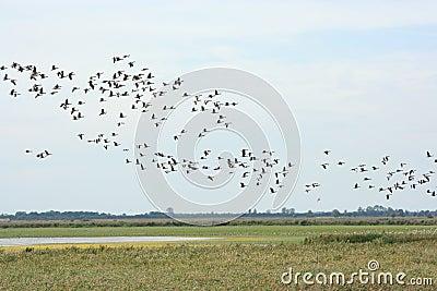 Gooses selvaggi