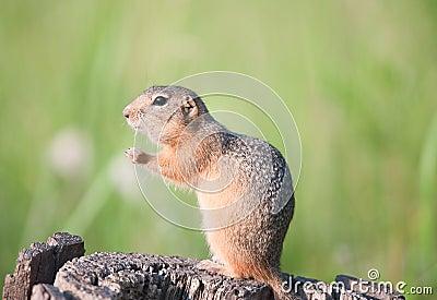 Gopher (european ground squirrel, suslik)