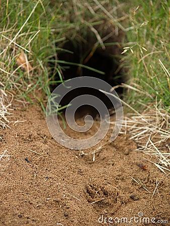 Gopher Hole With Fresh Print Stock Photo - Image: 911540