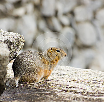 Gopher on the rock