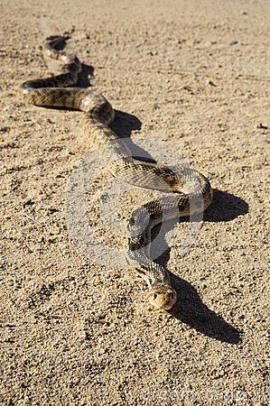 Free Gopher Snake On Road Stock Photos - 30752863