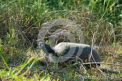 Gopher tortoise in prifile