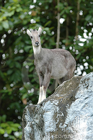 Free Goral Stock Photos - 15913423