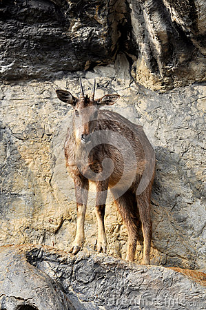 Free Goral Stock Images - 28657664