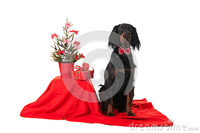 Gordon Setter as Christmas dog