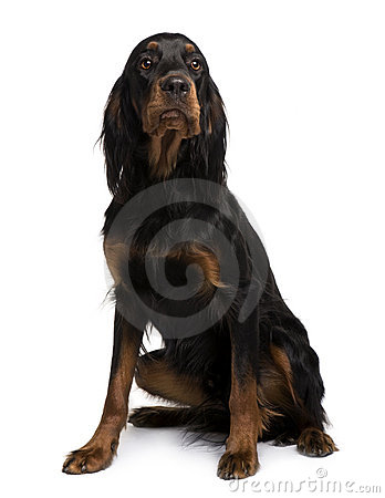 Gordon Setter dog, sitting and looking up