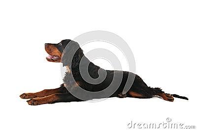 Gordon setter laying down