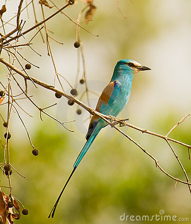 The gorgeous Abyssinian Roller