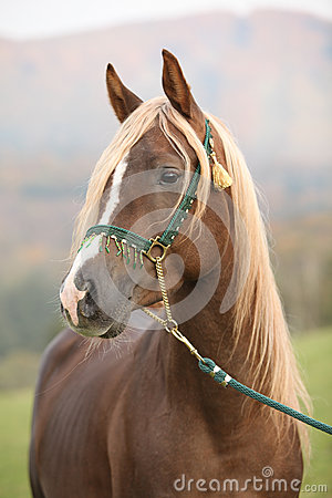 Gorgeous arabian stallion with long mane