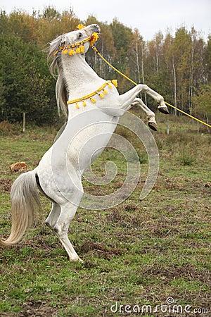 Gorgeous arabian stallion prancing