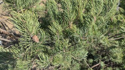 Gorgeous close up view of green pine tree with brown pine cones. Beautiful nature backgrounds.  stock video footage