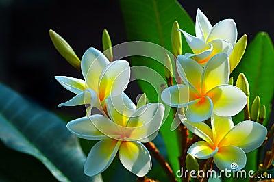 Gorgeous Frangipani Flowers