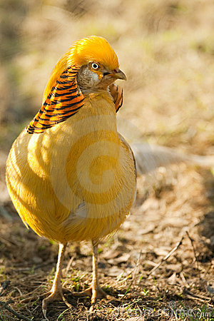 Gorgeous golden pheasant