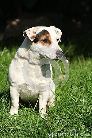 Gorgeous Jack Russel terrier in the garden