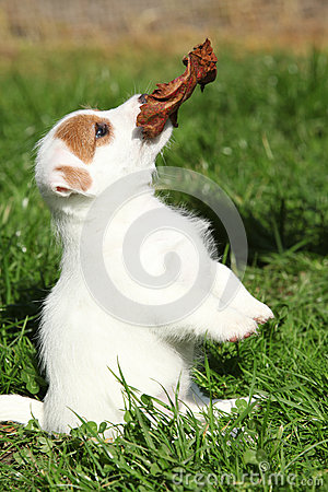 Gorgeous jack russell terrier puppy begging