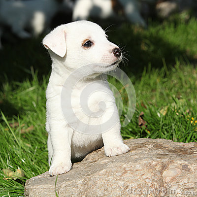 Gorgeous jack russell terrier puppy on stone