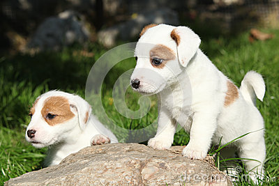 Gorgeous puppies of Jack Russell Terrier on stone