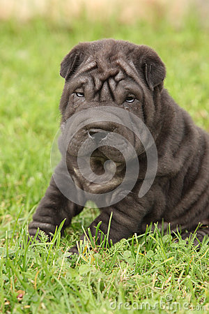 Gorgeous Shar Pei puppy sitting