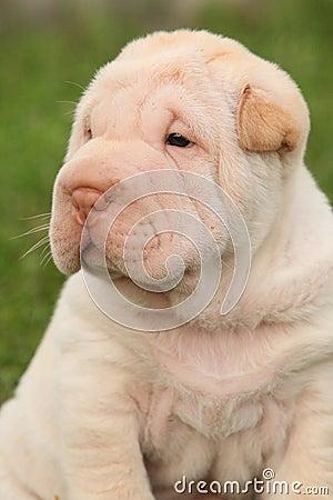 Gorgeous Shar Pei puppy sitting