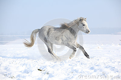 Gorgeous welsh mountain pony running in winter