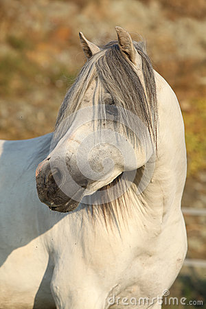 Gorgeous white stallion of welsh mountain pony