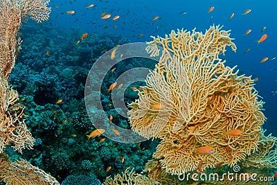 Gorgonia Coral
