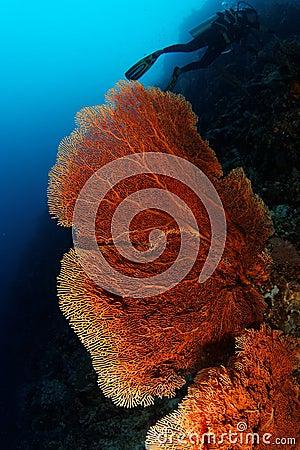 Gorgonian - Maratua atoll