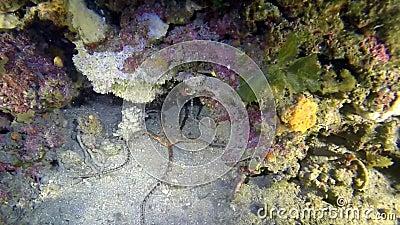 Gorgonians del throgh de la opinión de estrella frágil en el filón mediterráneo profundo almacen de metraje de vídeo