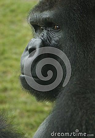 Gorila el mirar fijamente