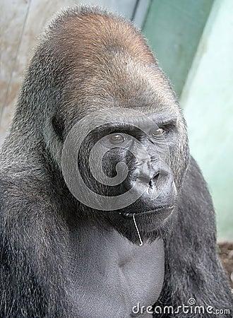 Gorilla 15