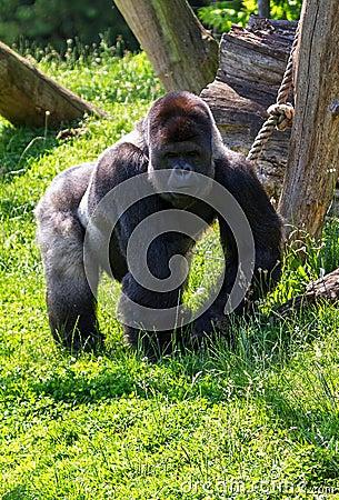 Free Gorilla Alpha Male Stock Photos - 35458803