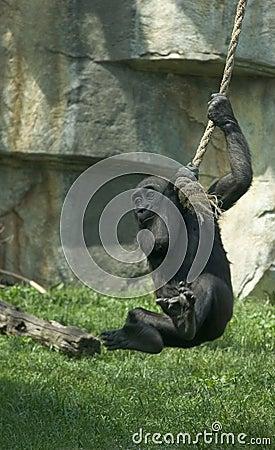 Free Gorilla Baby Having Fun Royalty Free Stock Photography - 126537