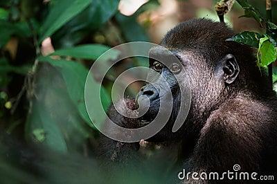 Gorilla eating.