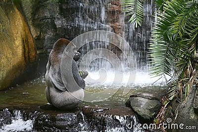 Gorilla Eating in Natural Habitat