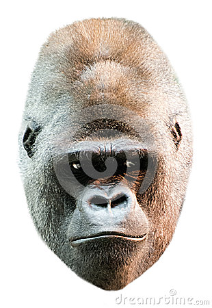Gorilla Face Head Portrait Isolated on White