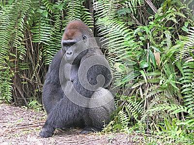Gorilla, Gabon, West Africa